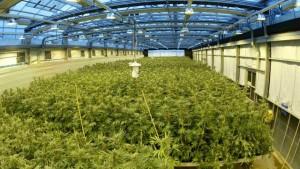 Cannabis business law company