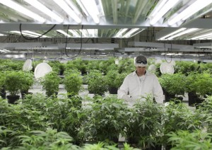 Marijuana business law company1
