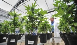 Florida marijuana workshops1