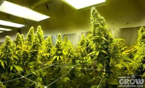 School for cannabis1