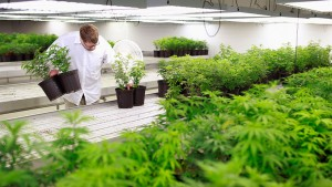 Production Assistant Brennan collects marijuana plant clones to be moved into a growing room at Tweed Marijuana Inc in Smith's Falls