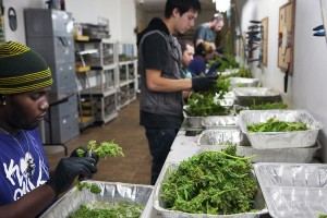 marijuana, cannabis, drug, plants, buds, trim