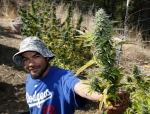California university for marijuana-1