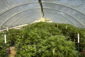 Online cannabis growing school