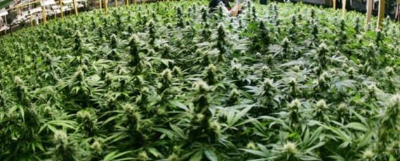 California weed institute