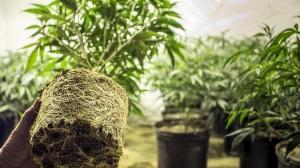 Recreational marijuana business applications1