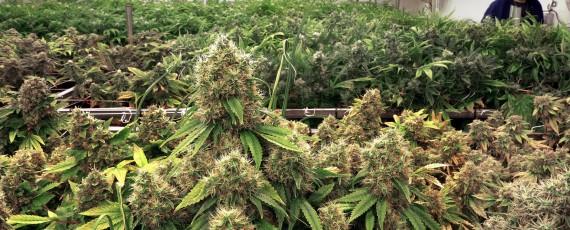 Growing medical marijuana in Illinois