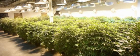 Marijuana insurance company