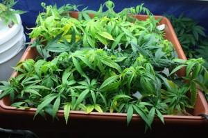 Training for marijuana