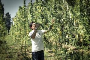 California institute for marijuana