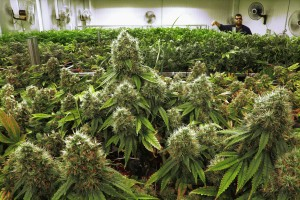 Medical cannabis business permits