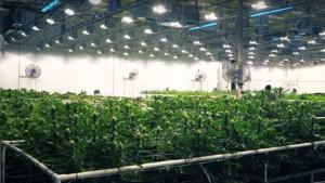 Cannabis business license