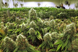 Cultivation business license